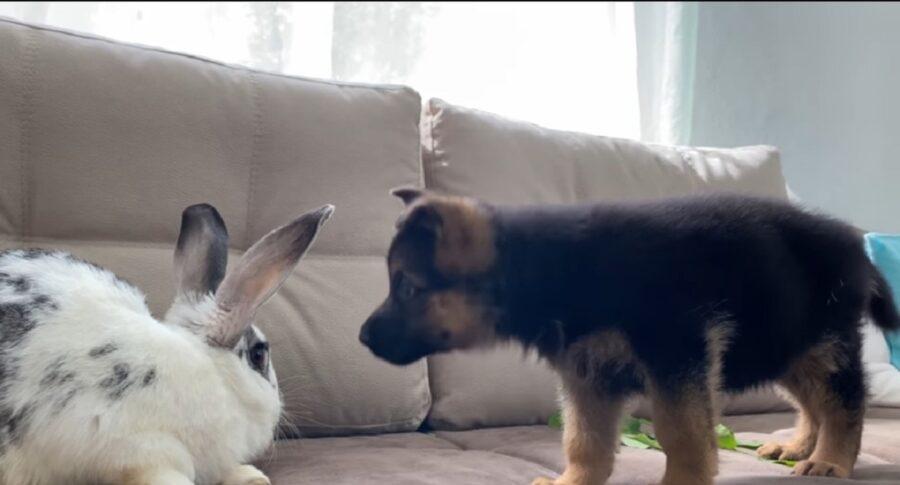primo incontro cucciolo di pastore tedesco e coniglio