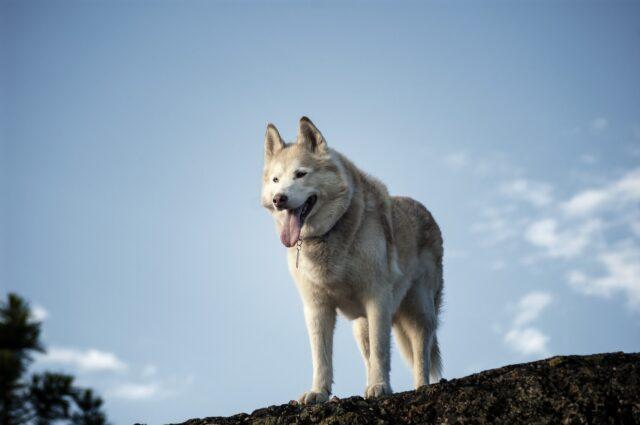 husky in montagna