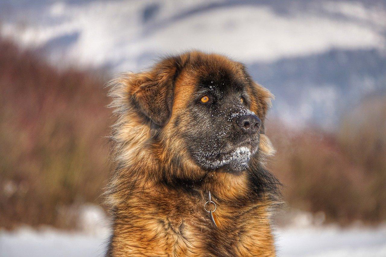 cucciolo di leonberger nella neve