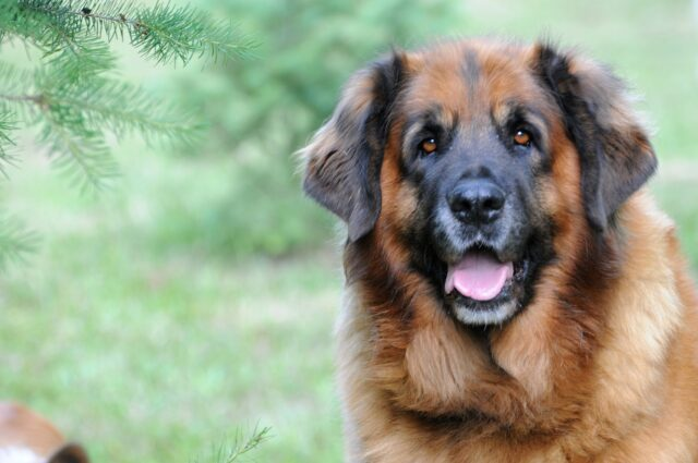 Leonberger muso dolce
