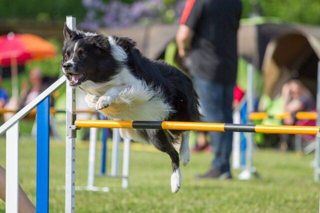 cane che fa agility