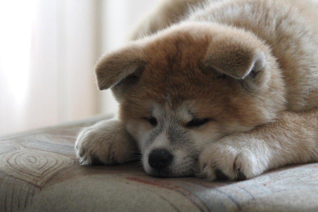 akita molto stanco