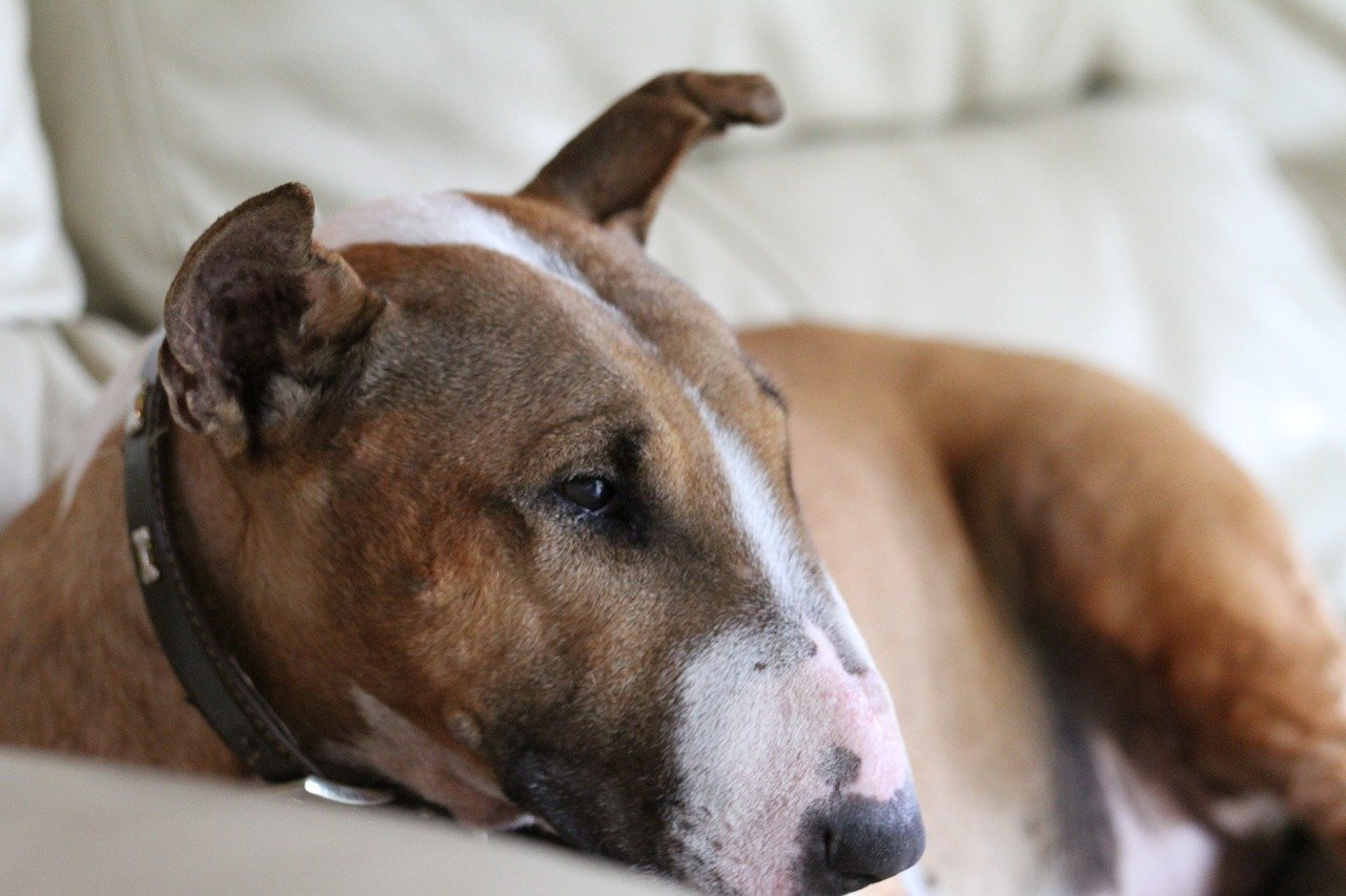 bull terrier riposato