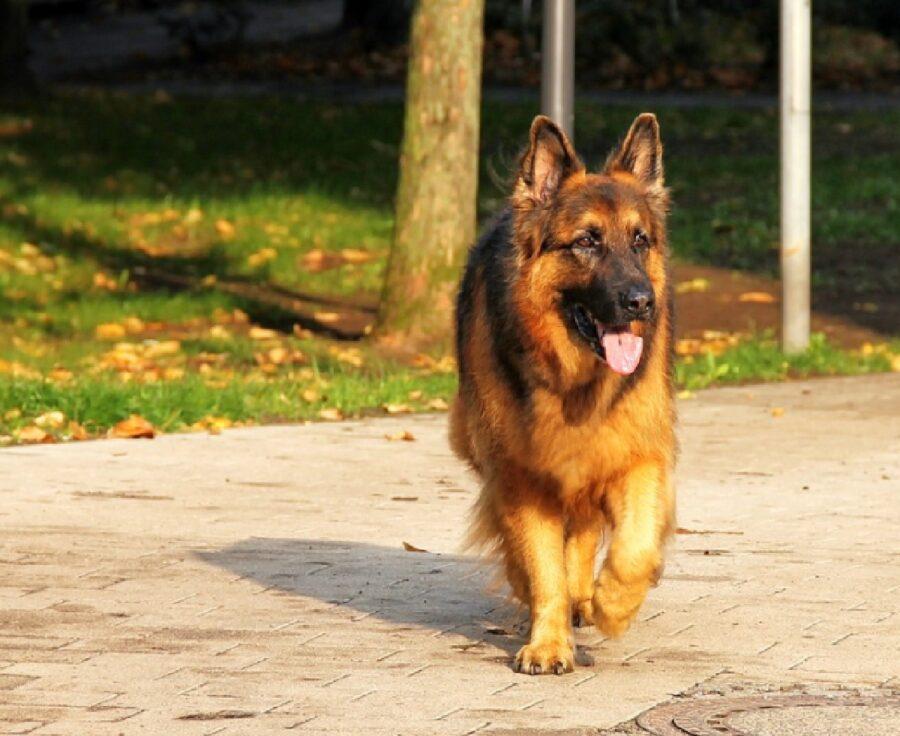 cane pastore tedesco luce brillante