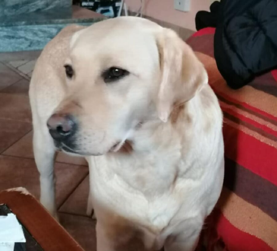 cane labrador girato di lato