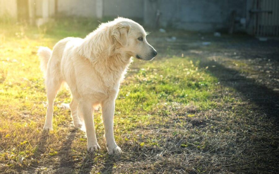 cane pastore maremmano sole