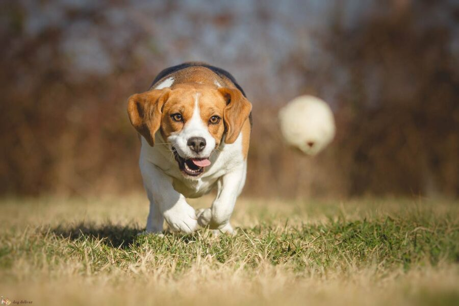 cane insegue pallina