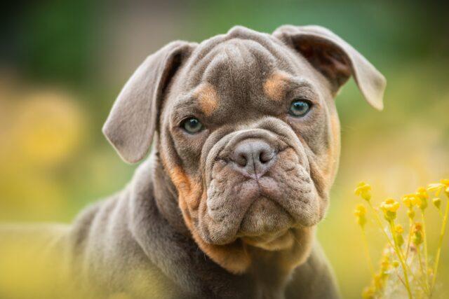 cane Bulldog primo piano