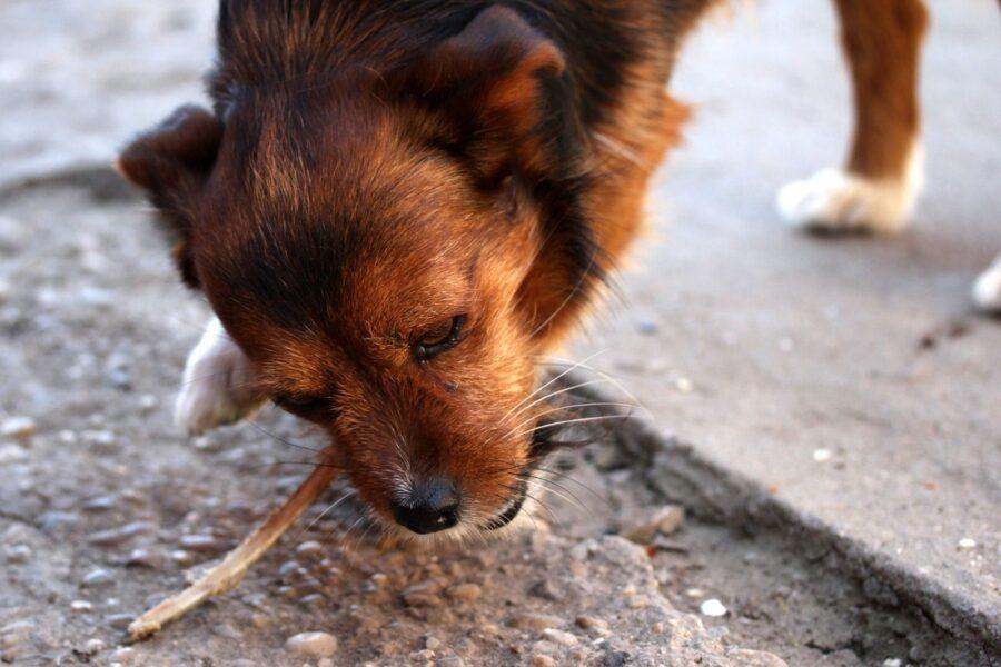 cane mangia cose per terra