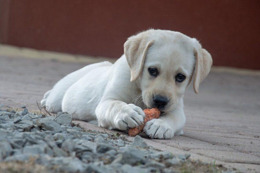 cucciolo bianco che mangia