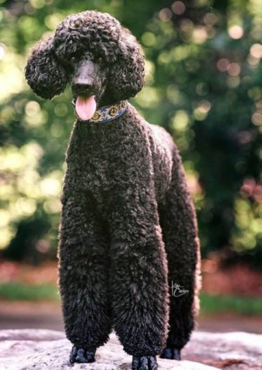 cane nero tosato