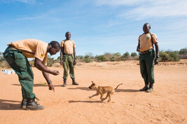 cani addestrati per fermare il bracconaggio