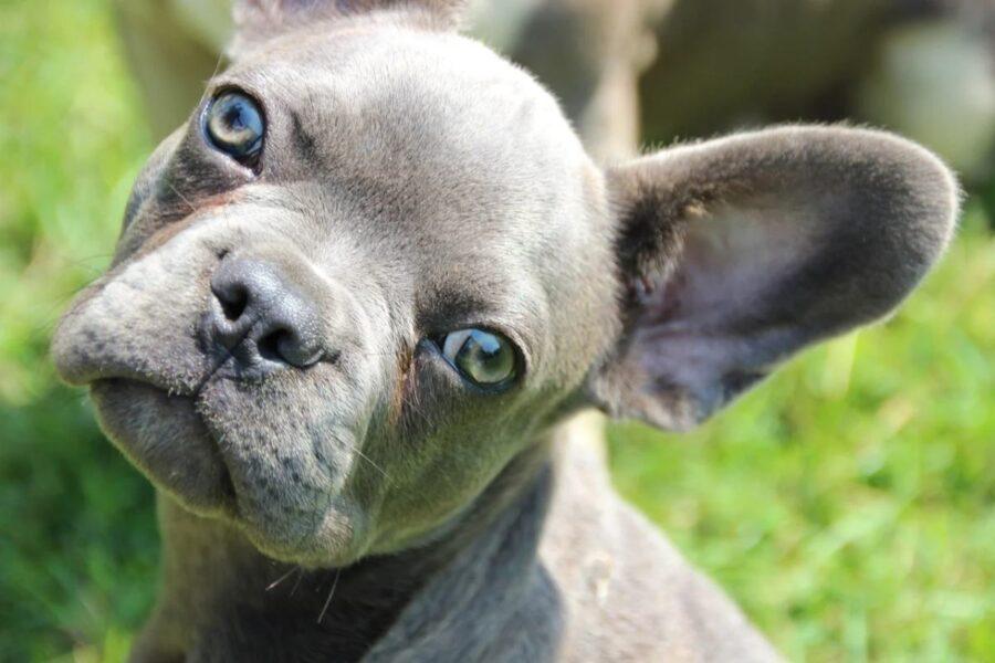cane grigio con gli occhi blu