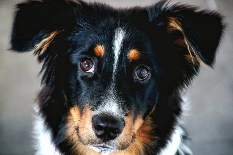 cane nero e marrone