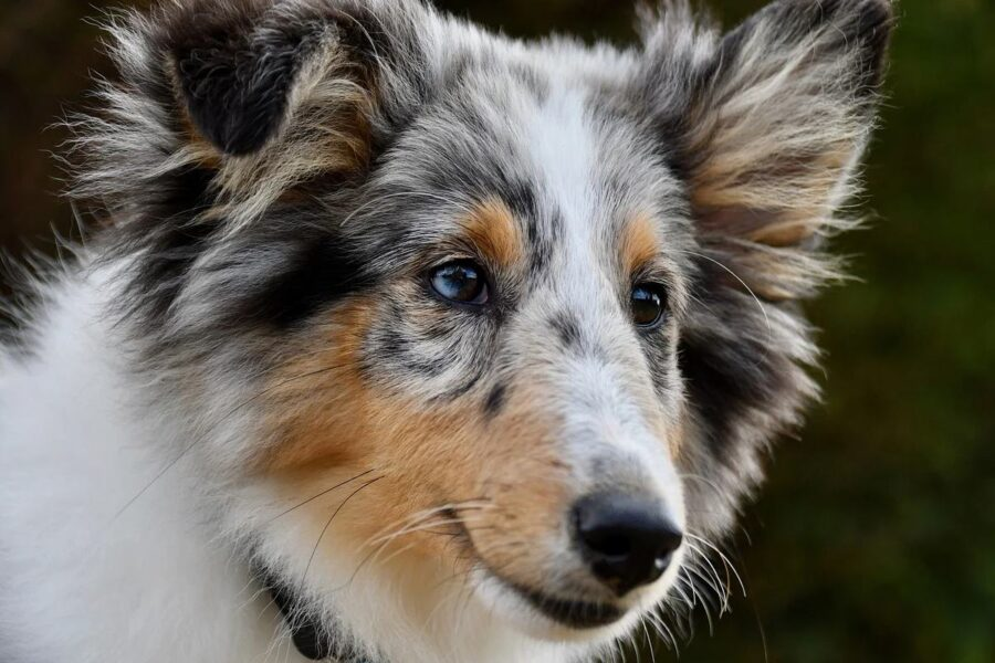 cane con il pelo lungo