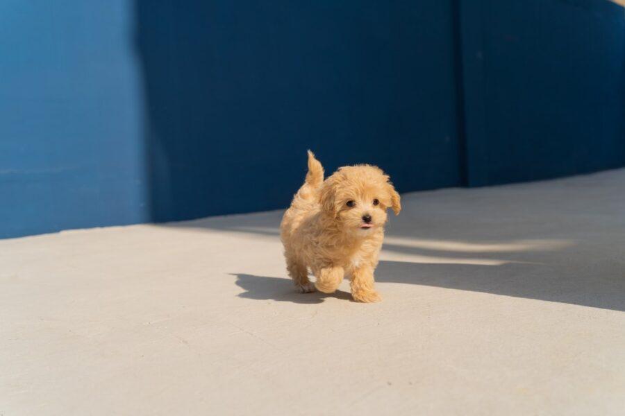 cagnolino che cammina
