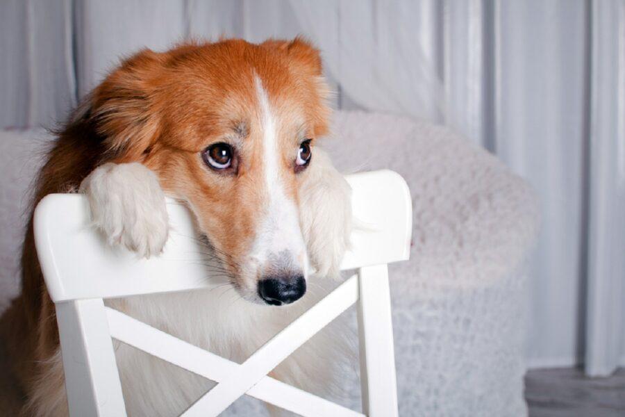 cagnolino appoggiato a una sedia