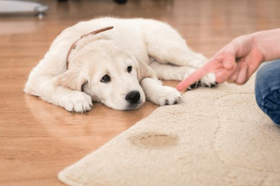 cucciolo fa pipì sul tappeto