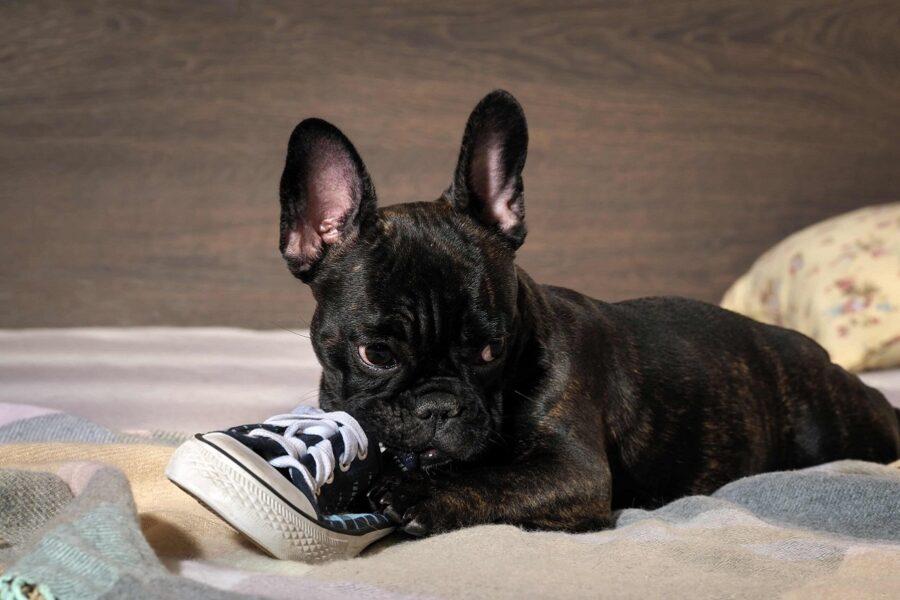 bulldog francese morde una scarpa