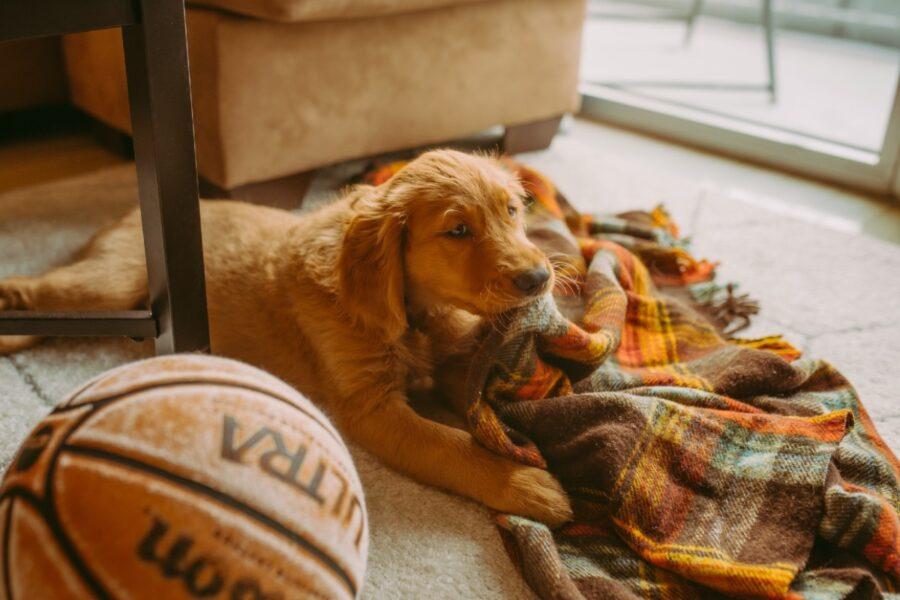 cucciolo e coperta