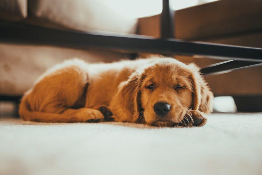 cagnolino che riposa