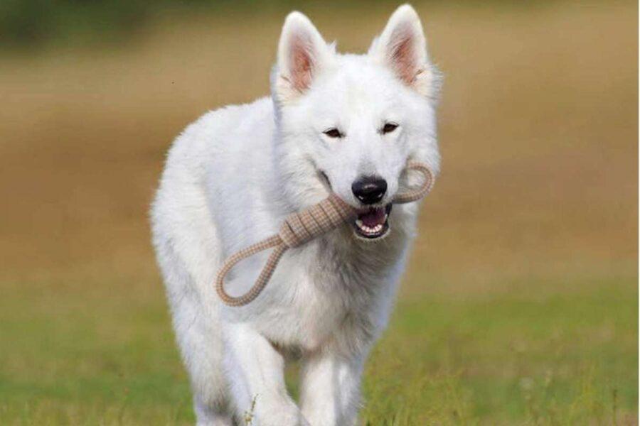 cane bianco con corda in bocca
