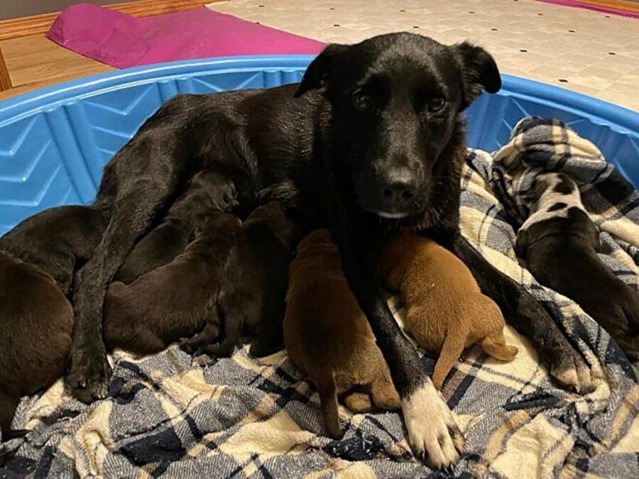 mamma mentre allatta cuccioli
