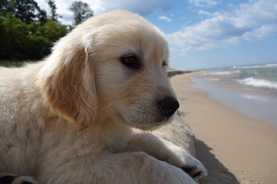 cucciolo di labrador in riva al mare