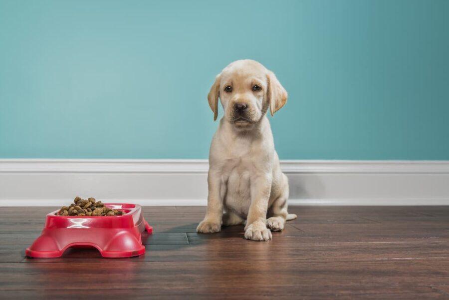 cucciolo di Labrador guarda la ciotola