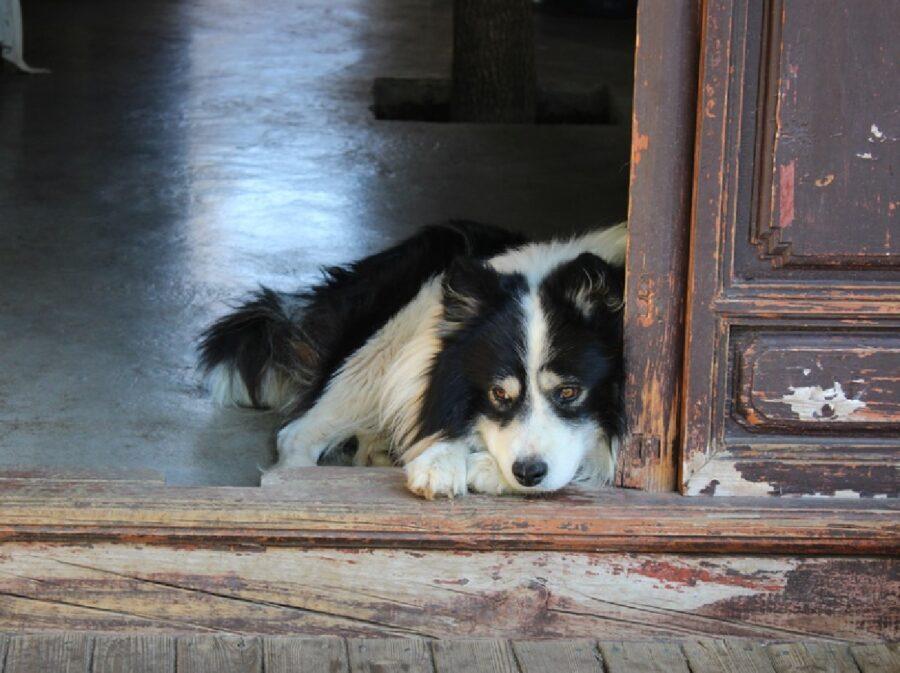 cane anziano vicino porta aperta