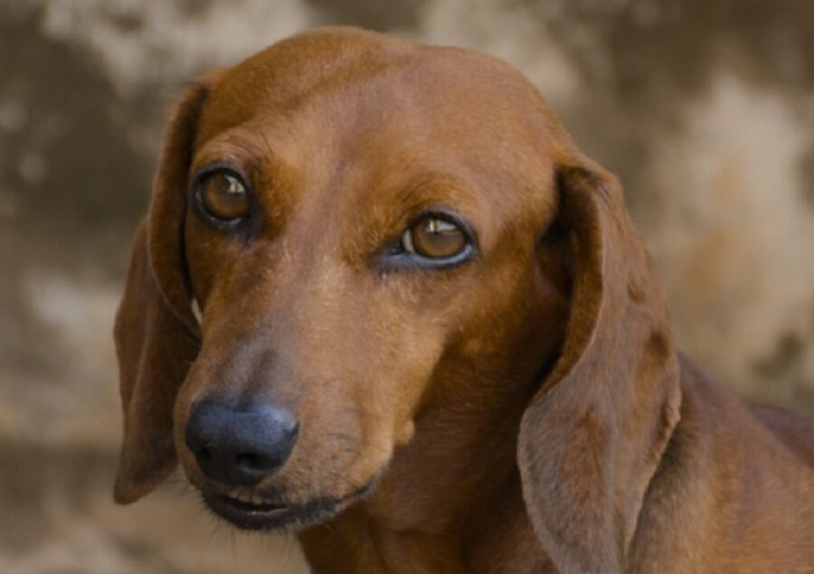 cane simil bassotto pelo marrone