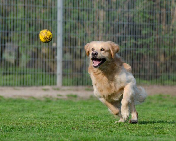 cane sul verde rincorre una pallina