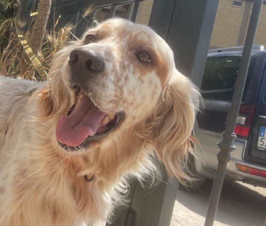 cane setter inglese collare antiparassitario