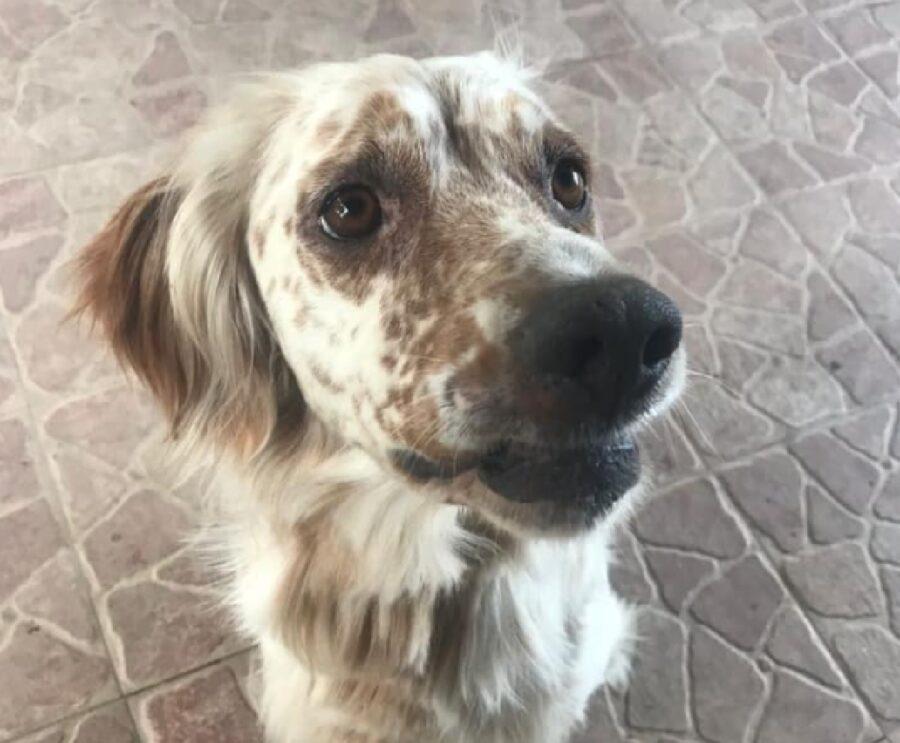 cane setter inglese macchie volto