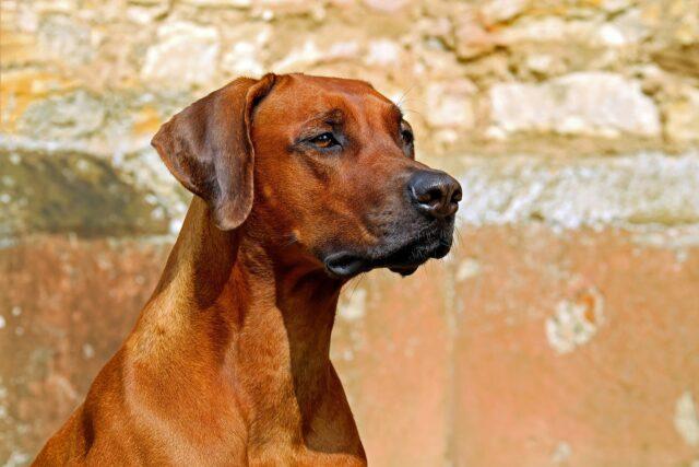 cane da guardia che guarda qualcosa