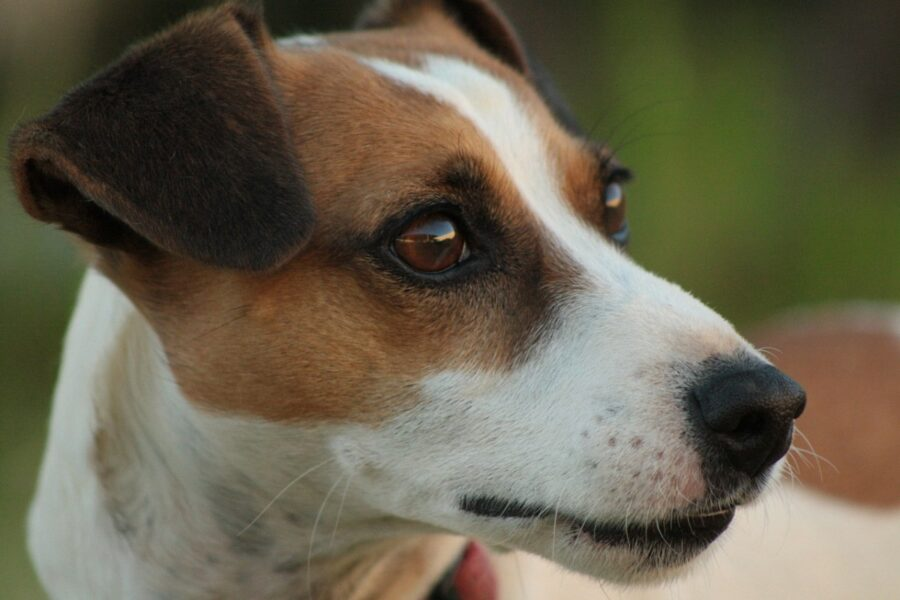 muso del jack russell