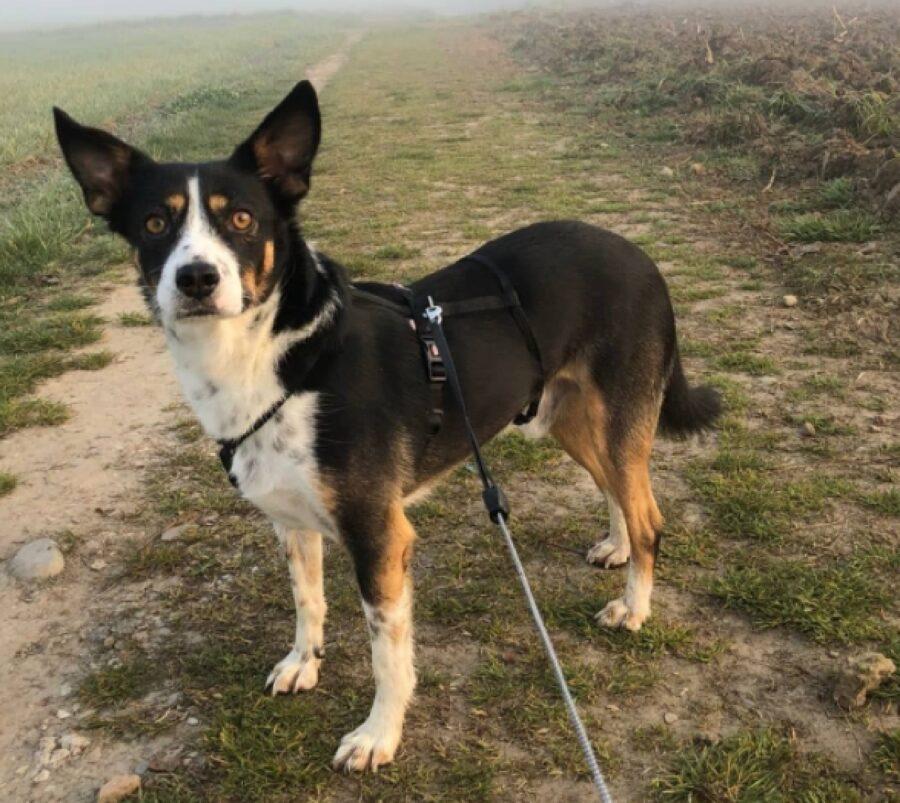cane tenuto con pettorina