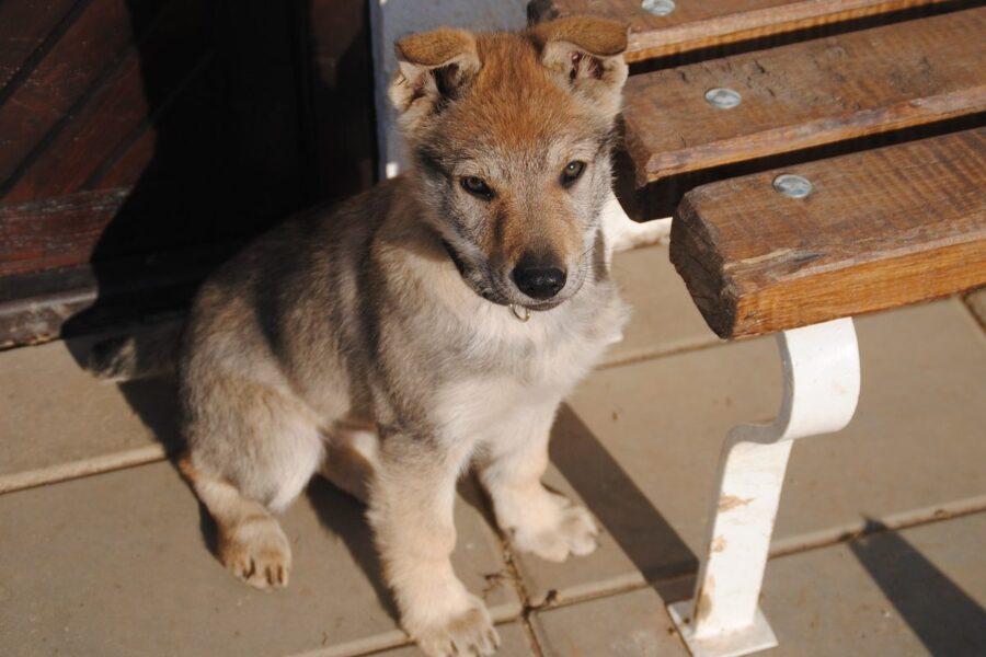 cucciolo di lupo cecoslovacco