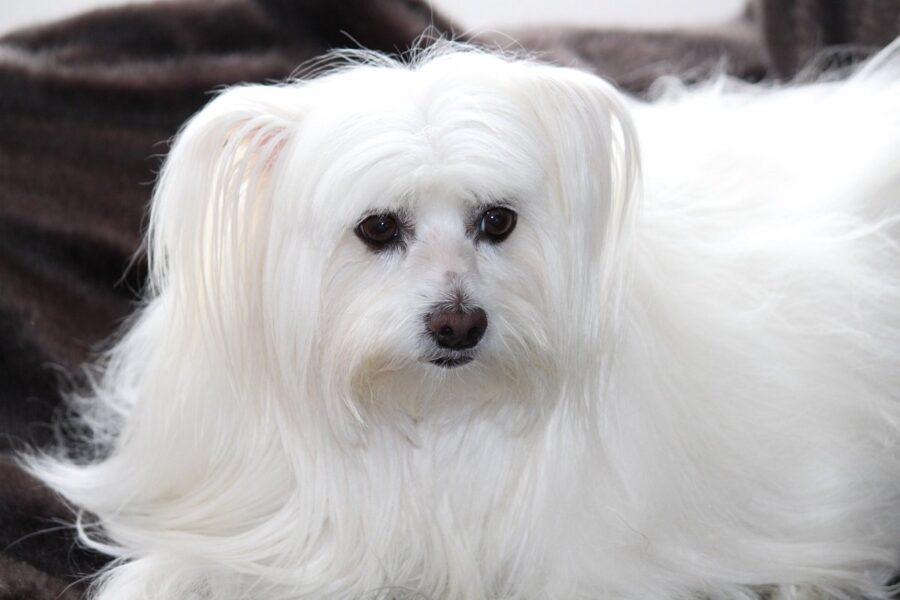 cane a pelo lunghissimo