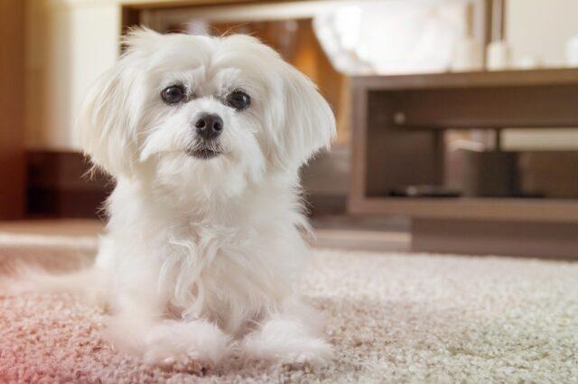 cane da appartamento