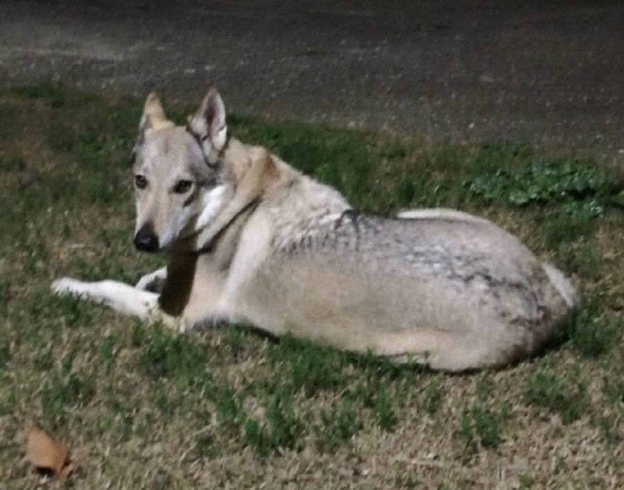 cane lupo cecoslovacco orecchie lunghe