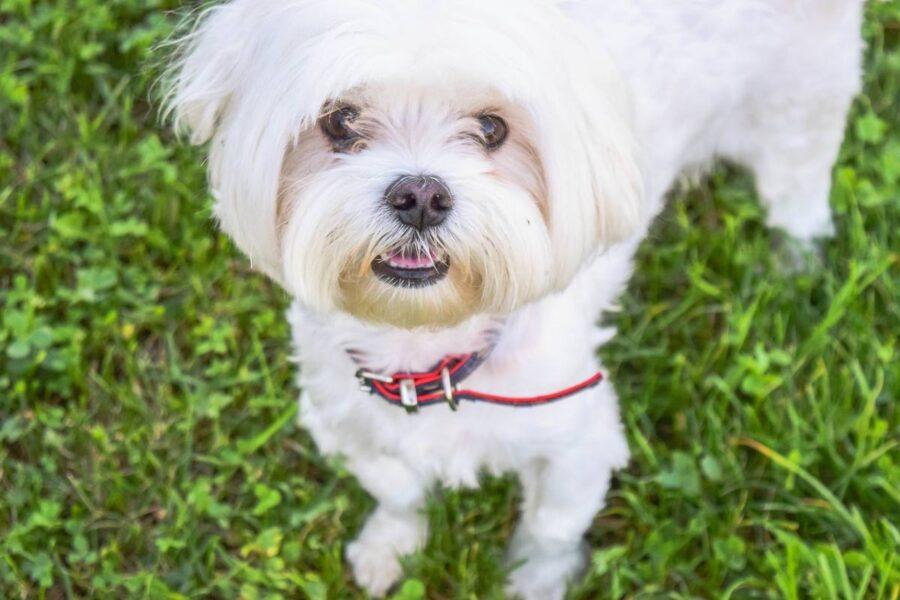 cane piccolo bianco