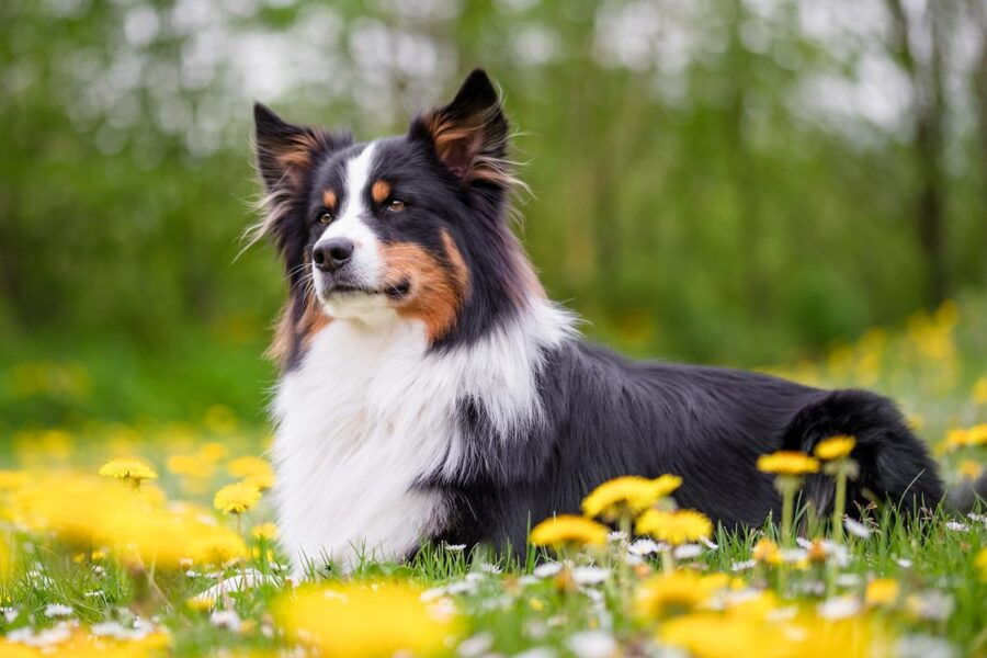 pastore australiano tra i fiori