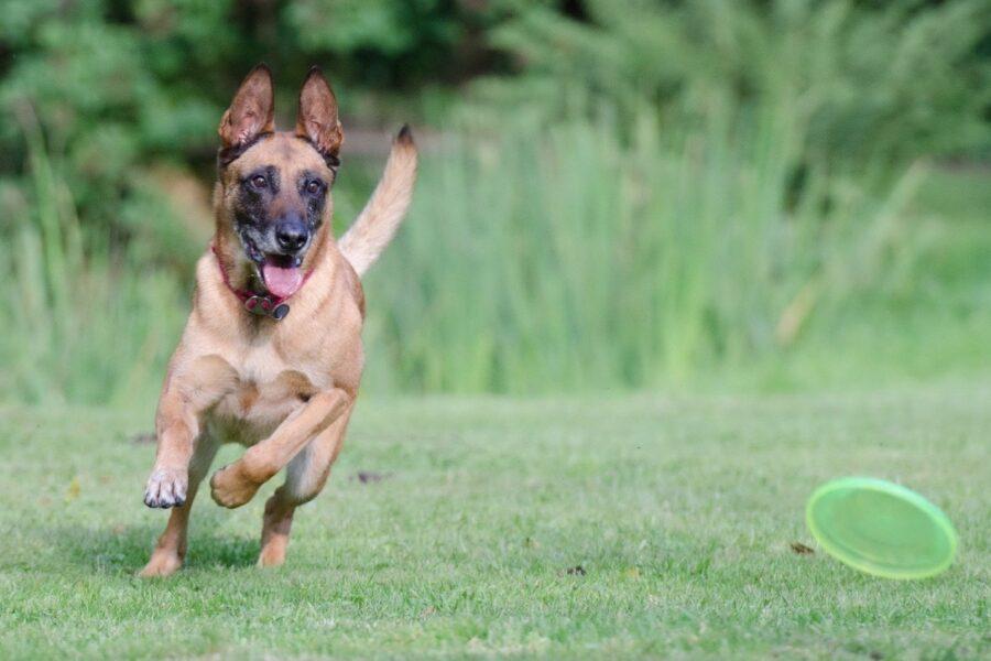 cane che gioca con frisbee