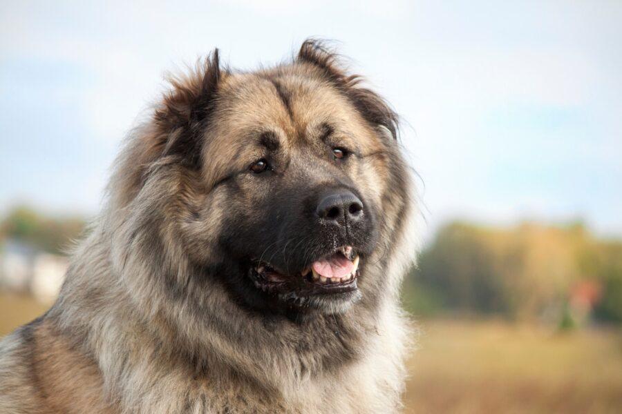cane di montagna