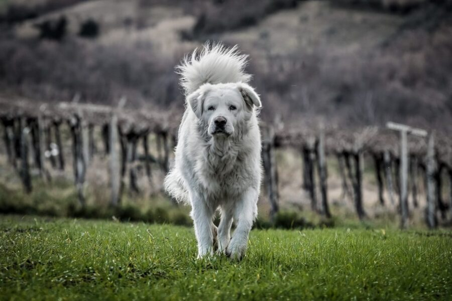 cane che cammina in montagna