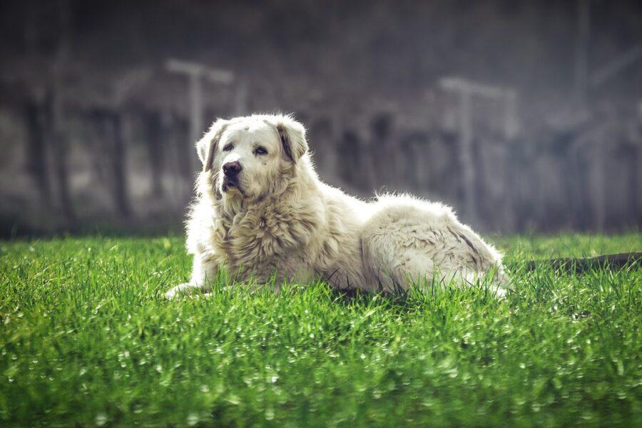 cane pastore maremmano disteso sul prato