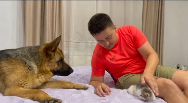 pastore tedesco incontra gattina per la prima volta