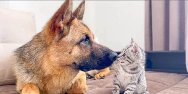 pastore tedesco gioca con un gattino