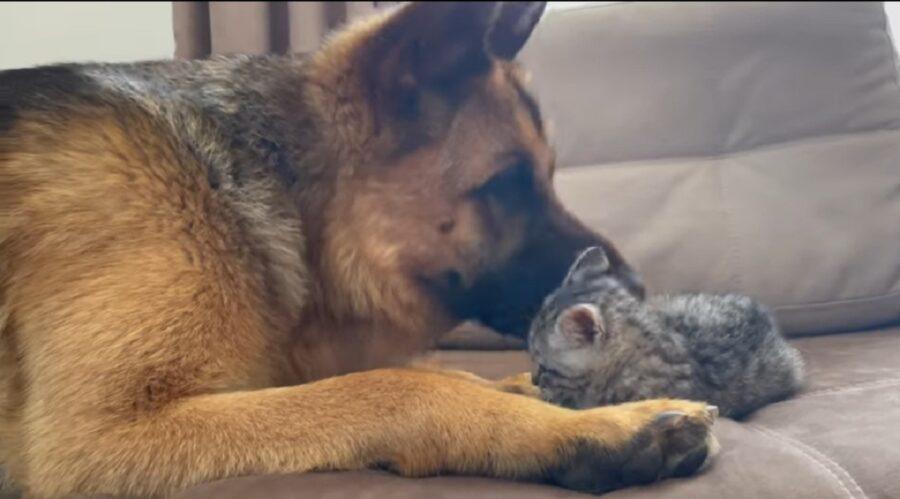 gattino e pastore tedesco giocano insieme per la prima volta